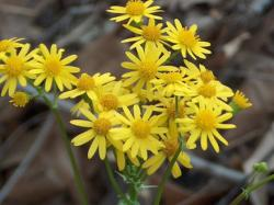 dark yellow wildflowers.jpg