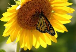 sunflower with hungry butterfly.jpg
