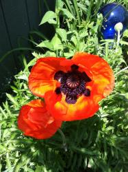 Poppies started blooming today!