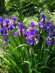 Siberian Iris by the lily pond.
