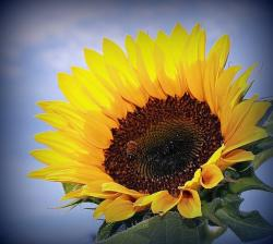 sunflower with a bee.jpg