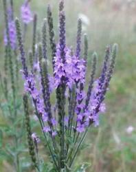 Hoary Vervain picture_beautiful purple wildflowers.jpg