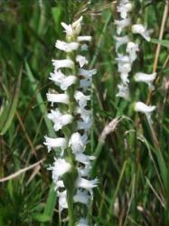 Lady Trusses Orchid pics.jpg