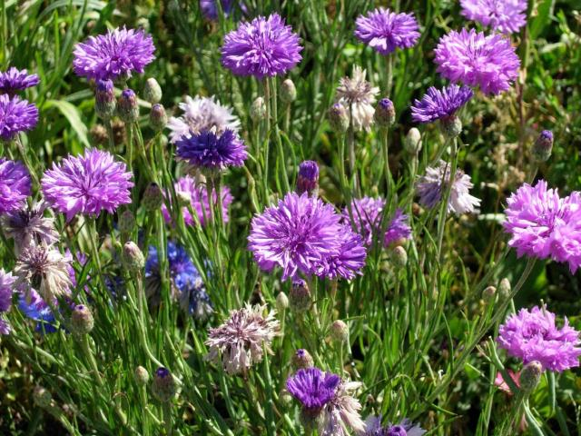 lavender colored wildflowers - photo #34