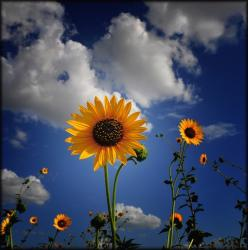 sunflower plantpicture.jpg