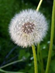 Make A Wish flower in nature.jpg