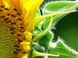 sunflower picture.jpg