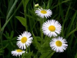 picture of Daisy wildflowers.jpg