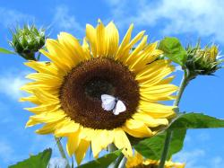 sunflower photo.jpg
