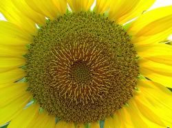 sunflower is skinnying.jpg