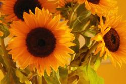 sunflowers in rich colors.jpg