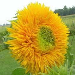 teddy bear sunflower.jpg