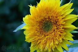 teddy bear sunflower picture.jpg