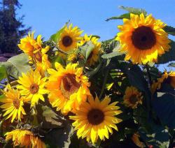 sunflowers picture.jpg