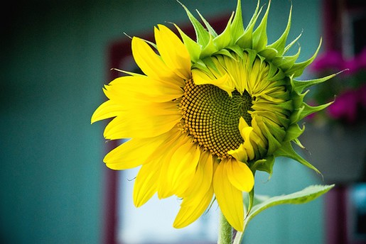 unique sunflower jpg