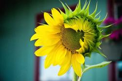 unique sunflower.jpg