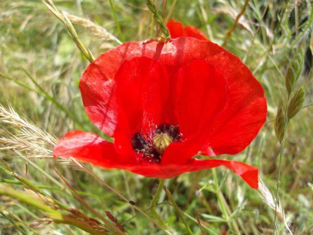 wild poppy flowers on - photo #14
