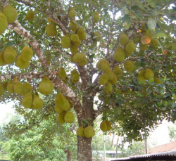 Largest fruits growing on threes is the jackfruit_fruit hanging from the trunk.PNG
