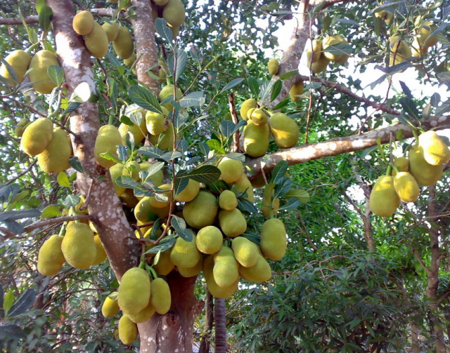 Largest tropical tree fruits picture_jackfruits images.PNG