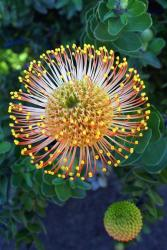 Pincushion protea.jpg