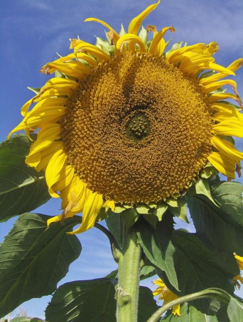 the biggest sunflower.jpg