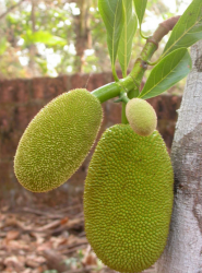 Jackfruit Trees Pictures