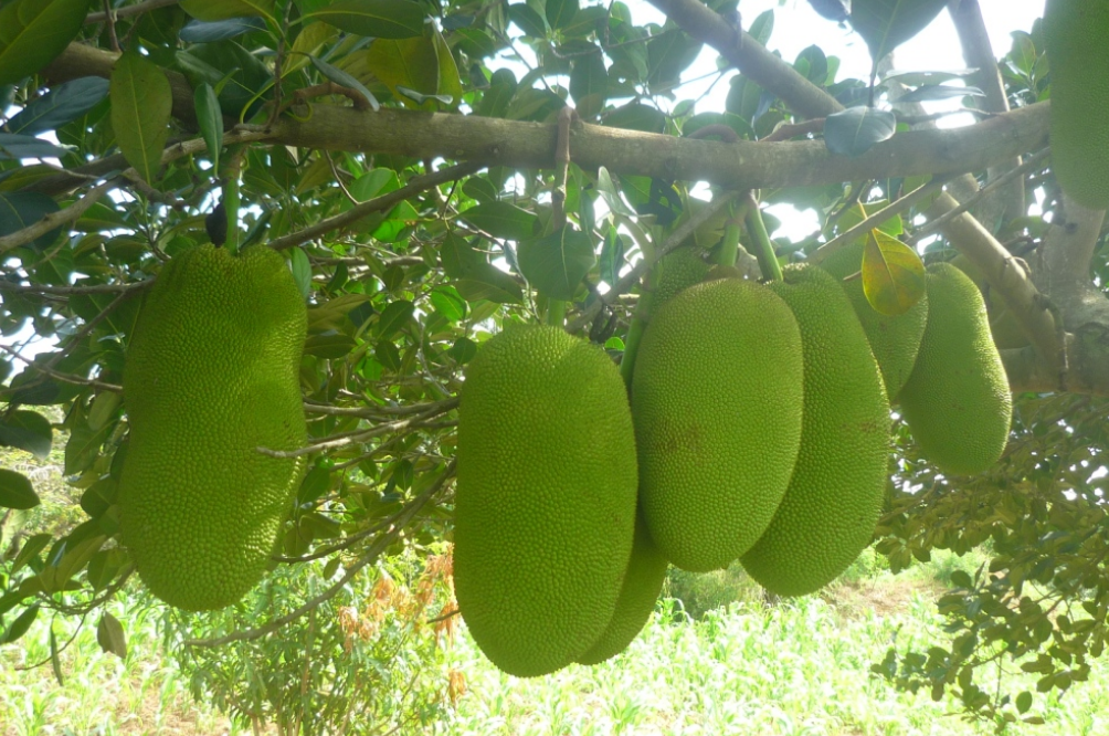 Green jackfruits hanging from jackfruit trees_large tropical fruit trees picture.PNG