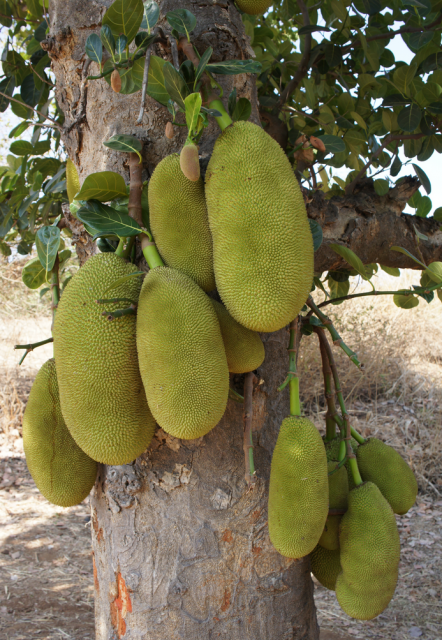 Jackfruit trees photos with full jackfruits.PNG