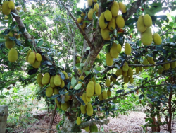 Large fruit trees with very large tropical fruits, jackfruits.PNG