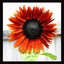 very beautiful orange red sunflower.jpg