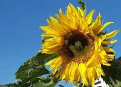 yellow sunflower.jpg