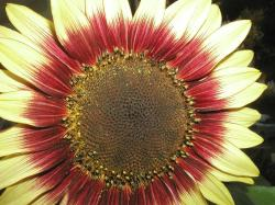 yellow and red sunflower.jpg