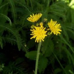 Yellow Hawkweed wildflowers.jpg