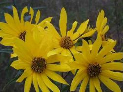 yellow Saw toothed Sunflower.jpg