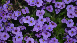 Violet Flowers picture.PNG