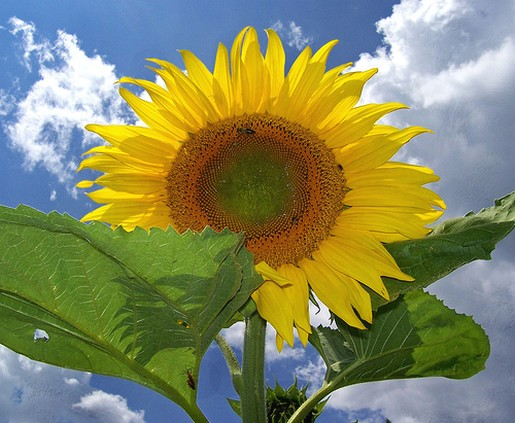 a picture of a sunflower.jpg