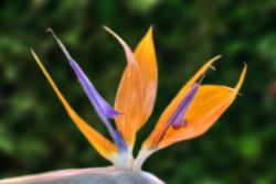 Bird of paradise in orange and purple.jpg