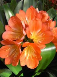 Bright orange Amaryllis flower photo.jpg