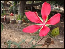 bright red Hibiscus coccineus.jpg