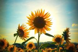 Beautiful picture of sunflowers.jpg