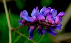 dark purple tropical flower photo.jpg