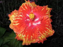 Exotic Hibiscus flower.jpg