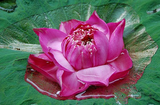 Exotic Lotus picture.jpg