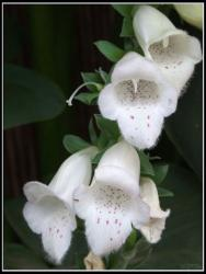 Foxglove white flower with bell look a like.jpg