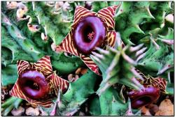 Huernia zebrina photo.jpg