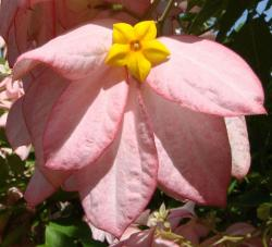 Light pink exotic  flower with star center in yello.jpg