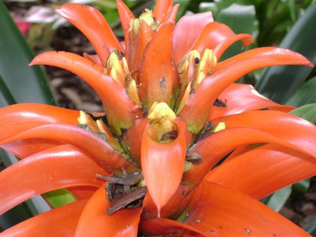 Orange Bromeliad flower.jpg