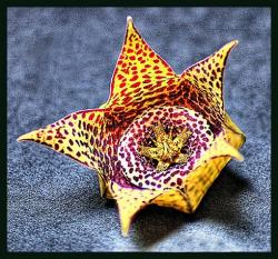 Orbea star flower exotic.jpg