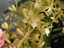 Orchids flower in yellow.jpg