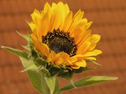 a single sunflower.jpg